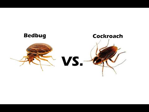 Bed Bugs vs Cockroaches