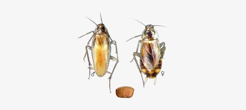 Brown Banded Cockroach vs German Roach