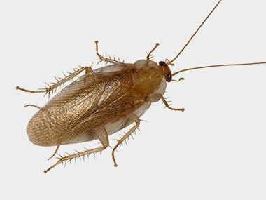 Eastern Woodland Roach