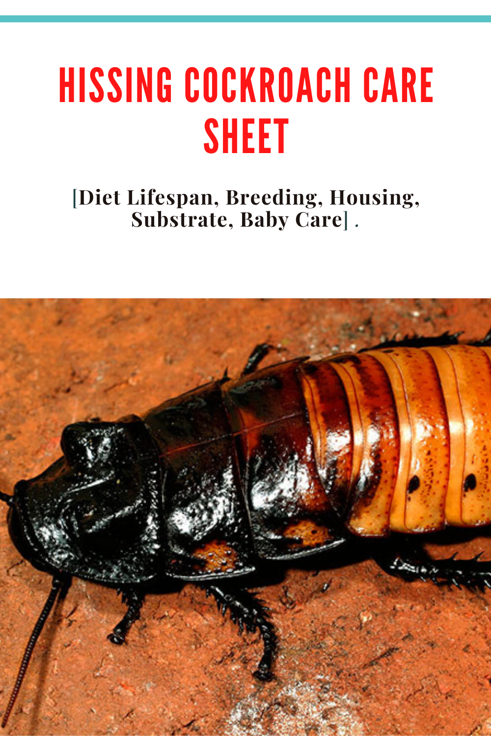 Hissing Cockroach Care