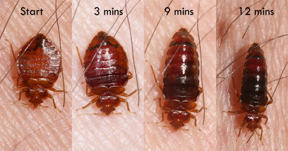 What Is a Bed Bug