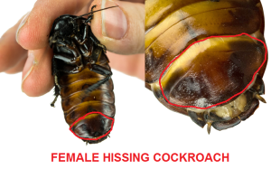female hissing roach