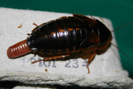 Can Dubia Roaches Infest Your House