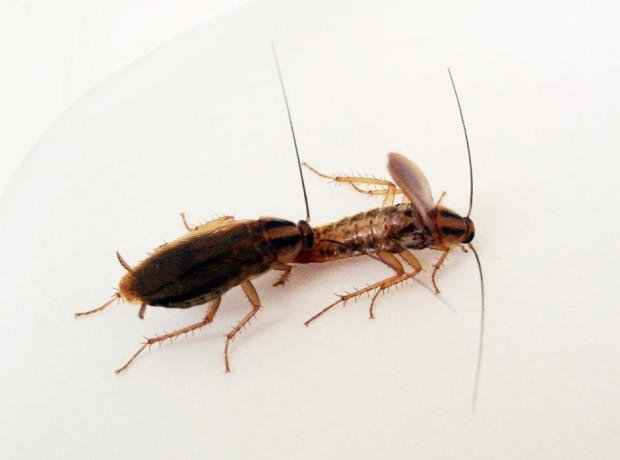 Do Roaches eat Each Other