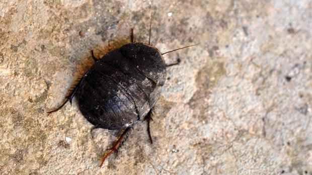 Egyptian Cockroaches