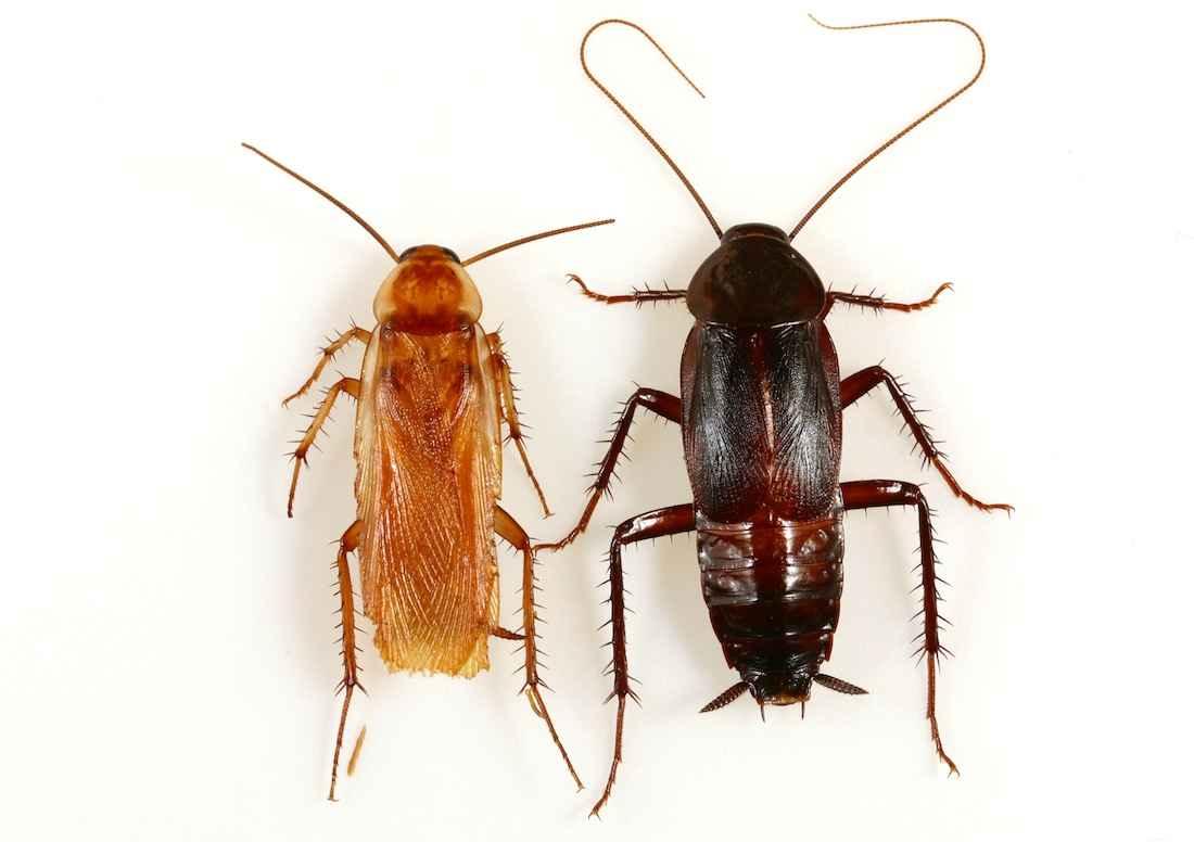 Turkestan Cockroach in House