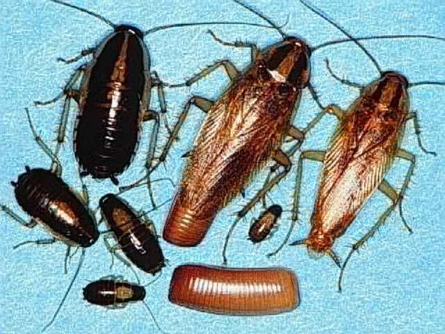 Types of Cockroaches in Hawaii
