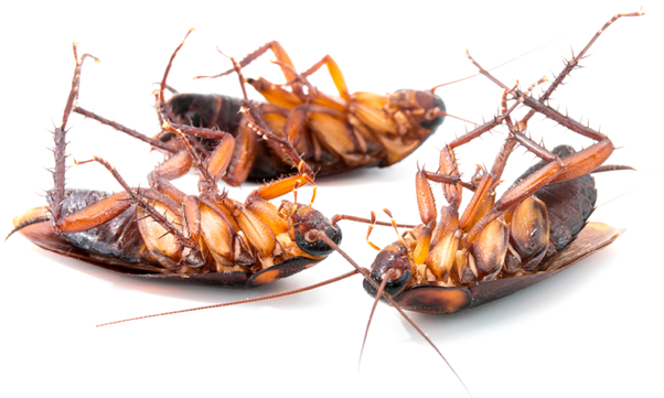 Why do Roaches Die on their Backs