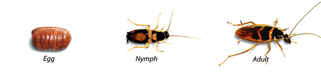 Baby German Cockroach