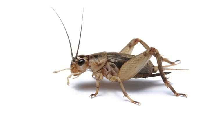 crickets like roaches