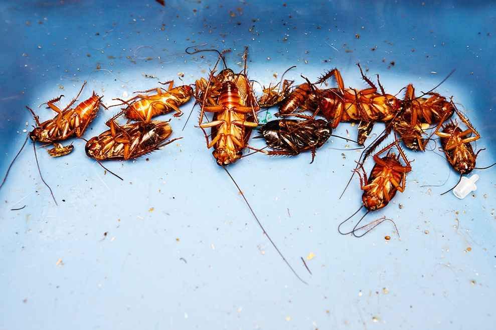 Ortho Orthene Fire Ant Killer for Roaches