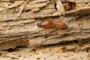 Can I DIY Termite Removal